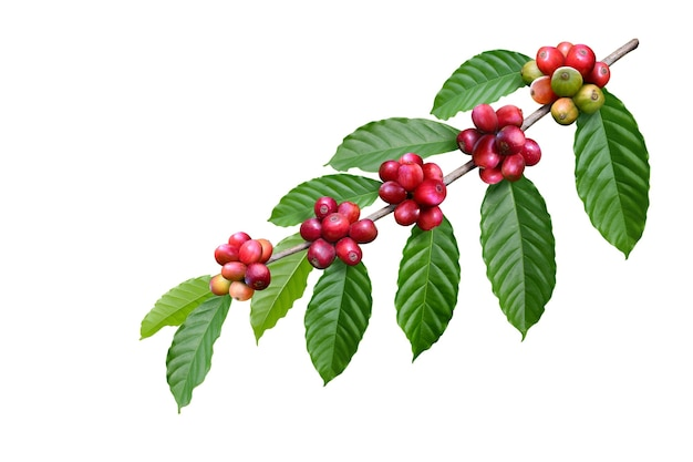 Coffee beans on a branch with leaves isolated on white background. clipping path