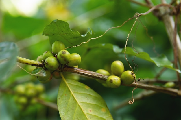 Coffee beans  on the bush at plantation