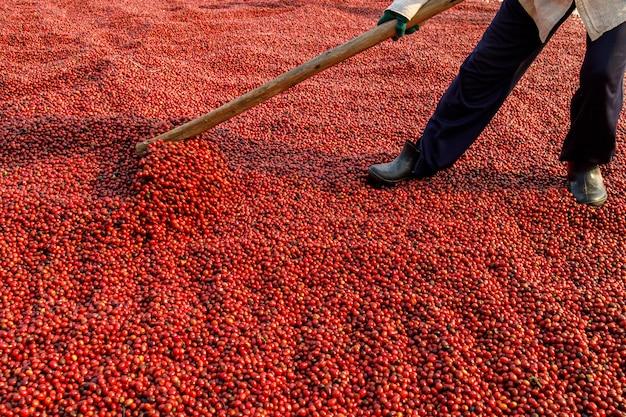 Сушка кофейных зерен на солнце. кофейные плантации на кофейной ферме
