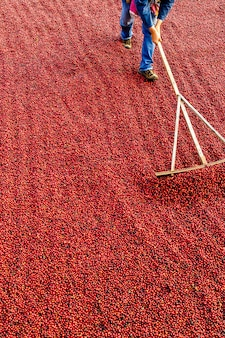 Coffee beans drying in the sun. coffee plantations at coffee farm