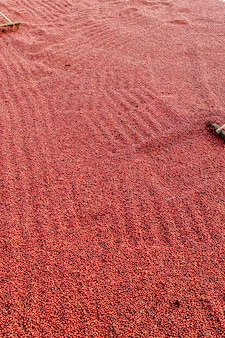 Coffee beans drying in the sun. coffee plantations at farm