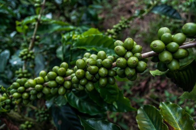 Coffee beans farm manizales colombia