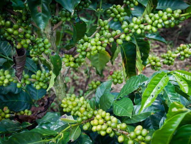 Coffee beans green mist agriculture farm colombia