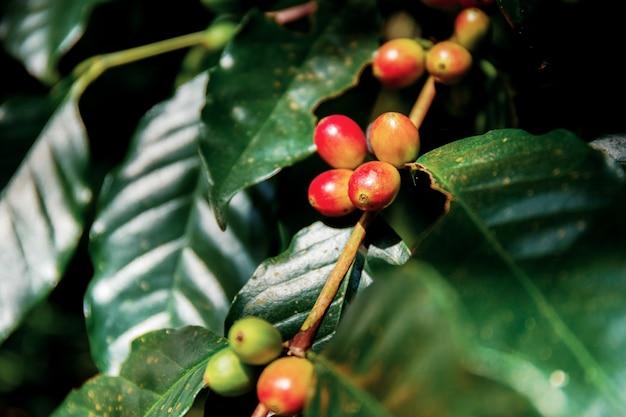 Кофейные зерна на дереве.
