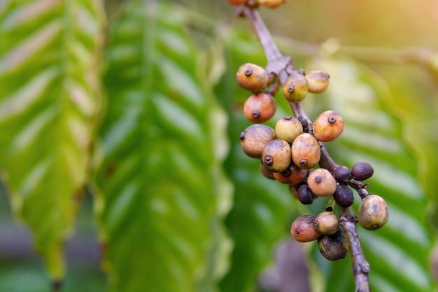 Coffee beans ripening, fresh coffee beans on coffee tree