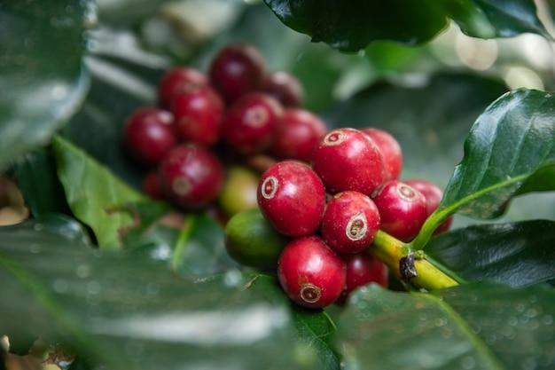 Созревание кофейных зерен, свежий кофе, красная ягодная ветвь, промышленное сельское хозяйство на дереве в таиланде.