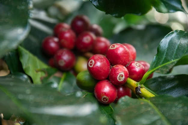 Coffee beans ripening, fresh coffee,red berry branch, industry agriculture on tree in thailand.