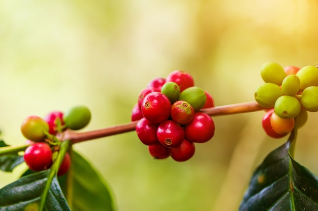 Coffee beans ripening, fresh coffee,red berry branch