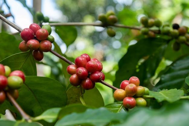 Кофе в зернах созревание свежий кофе красная ягода филиал