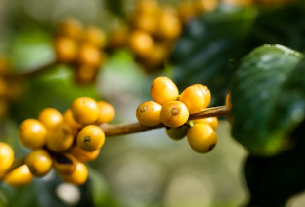 タイ北部の木で熟すコーヒー豆