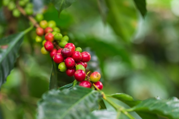 Coffee beans ripening on tree color vintage style