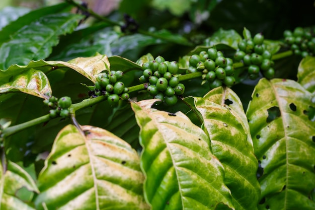 Coffee beans ripening on a tree. robusta