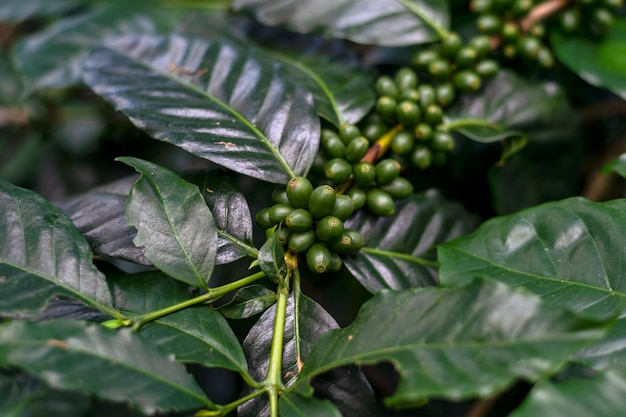 Coffee beans on a tree