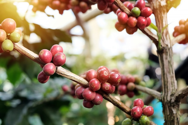 Coffee beans on trees in coffee plantations