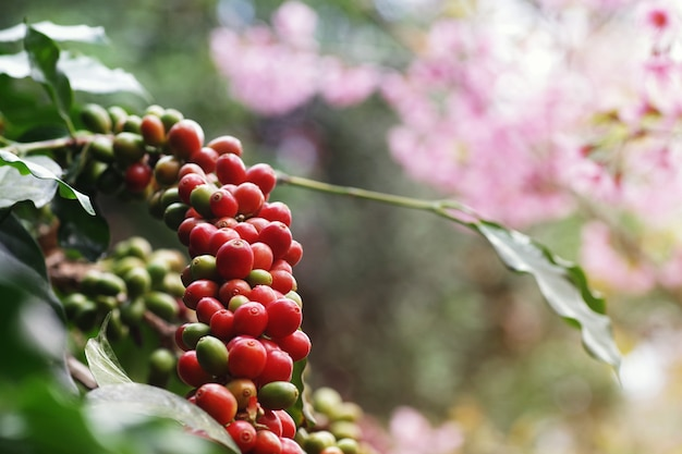 Coffee berries (cherries) grow in clusters along the branch of coffee tree plantation growing under forest canopy with blurred wild himalayan cherry blossom pink flower tree plant