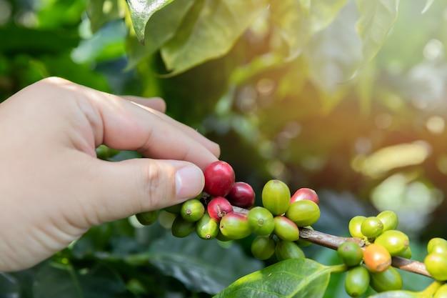 Ягоды кофе на дереве с рукой агронома.
