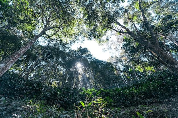 木の上で熟しているコーヒーベリー、森の中の木のシルエットの下で熟したアラビカコーヒー