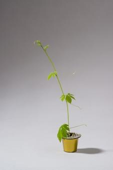 コーヒーカプセルは、カプセルから忍び寄る植物が成長する小さな水差しとして芸術的に再利用されました