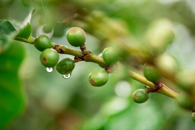 コーヒーチェリー。コーヒーの木、露と熟した果実とコーヒーの木の枝にコーヒー豆。コンセプトイメージ。