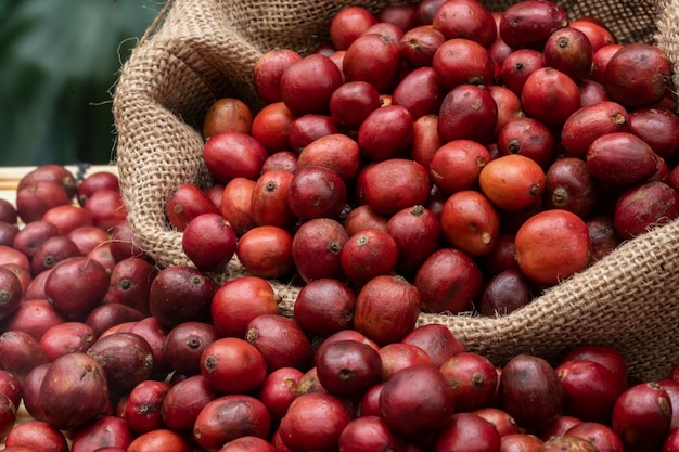 Coffee cherries and coffee beans