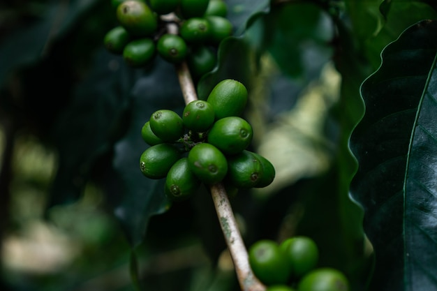 A coffee cherries from plant is source of coffee beans to create coffee drin