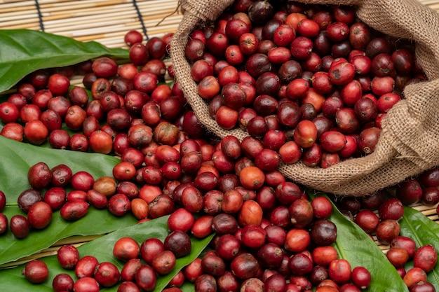 Coffee cherry at  coffee farm