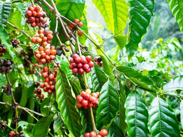 Coffee cherry on coffee tree