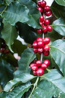 아침에 나무에 커피 체리 과일, 농장과 농장에서 숙성되는 유기농 커피 아라비카 콩