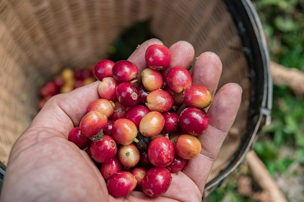 Coffee farmer picking ripe cherry beans, fresh coffee bean in basket, close up of red berries coffee beans.