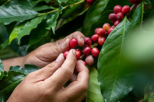 Coffee farmer picking ripe cherry beans