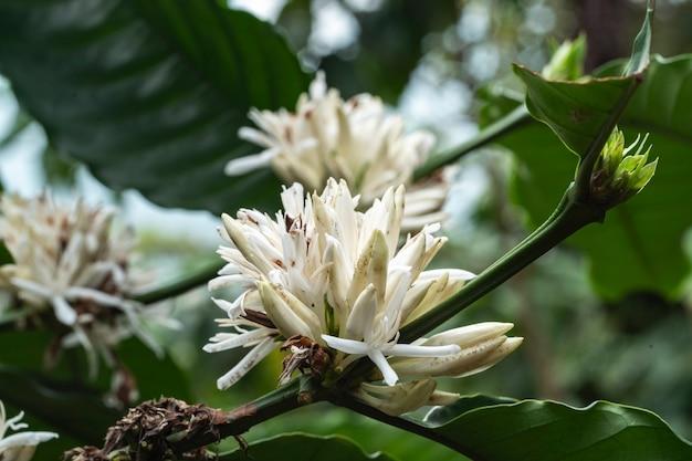 Coffee flower at coffee farm