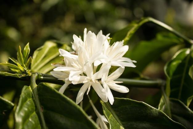 Coffee flowers blooming on coffee plant in vietnam in sunlight.