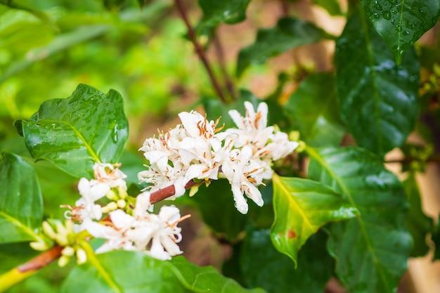 녹색 잎에 커피 꽃