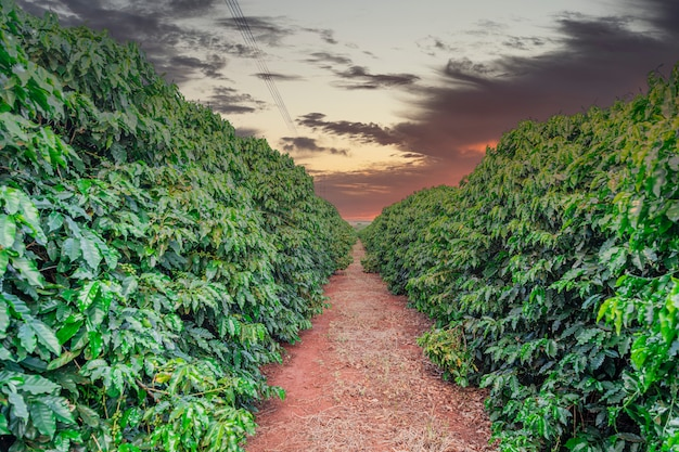 Coffee fruit in coffee farm and plantations in brazil