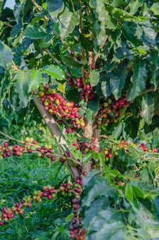 Coffee fruit hanging on tree