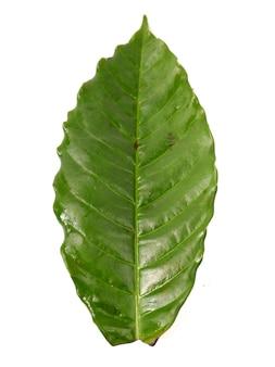 白い背景で隔離のコーヒーの葉