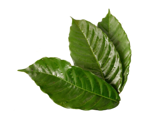 Coffee leaf isolated on a white background