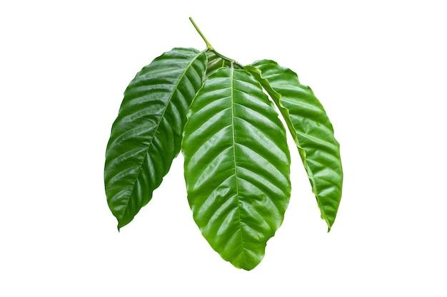 Лист кофе на белом фоне