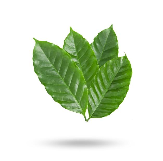Кофейные листья на белом фоне