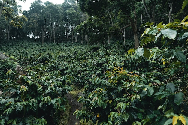 Coffee plantation in tropical forest in the rainy season