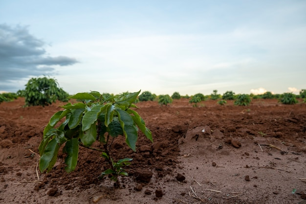 Coffee plantation with plants still small.