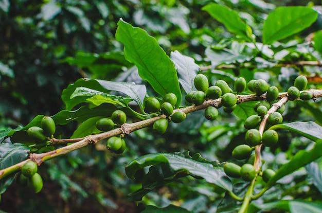 コーヒー植物