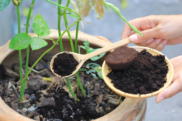 Coffee residue is applied to the tree and is a natural fertilizer
