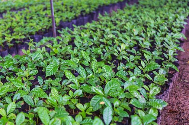 苗床のコーヒー苗