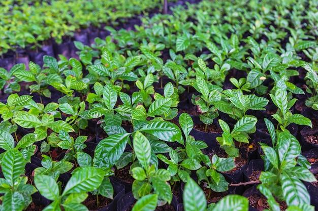 Coffee seedlings in the nursery