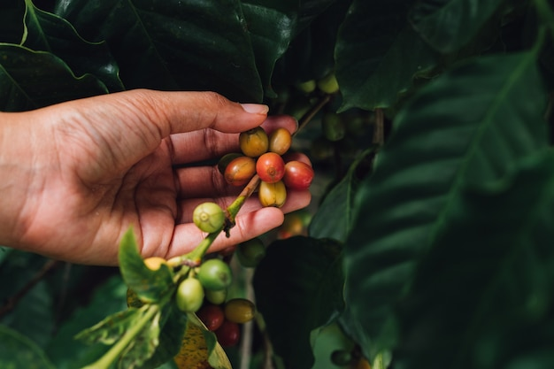 Coffee tree arabica coffee berries with agriculturist hand