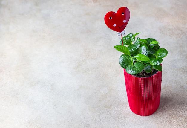 마음으로 포장지 빨간색 꽃 냄비에 커피 나무. 사랑 또는 발렌타인 데이 개념.