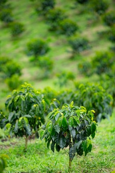 Coffee tree plantation in colombia