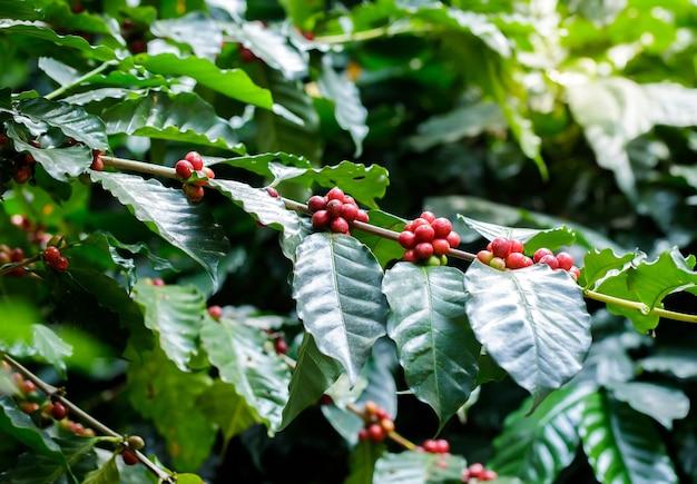 원두 커피와 커피 나무