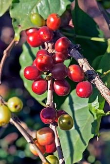 Coffee tree with fruit ripening